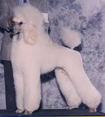 standard poodle hair styles grooming the standard poodle