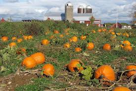www pumpkin pick your own pumpkins at our saratoga farm
