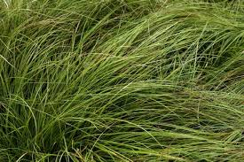 the garden ornamental grasses poetry in motion l a at