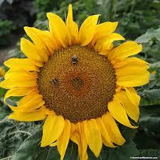 sunflower seeds yellow pygmy helianthus annuus american