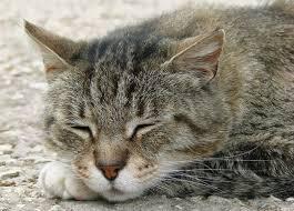 prurito testa e corpo gatto con prurito in testa