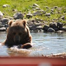 Hungry Bears Perishing On Western Montana Highways Local - 22 best hays montana art images on pinterest montana hay and big