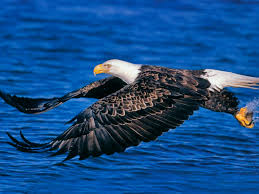 eagle pictures love animals most beautiful eagle wallpaper