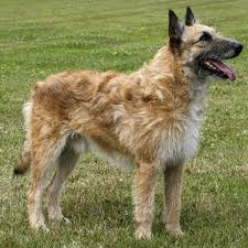 belgian shepherd dog belgian shepherd laekenois breed guide learn about the belgian