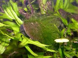 dealing with algae in freshwater aquaria