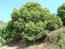 mango trees mangifera indica non xeriscape common landscape
