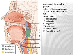 Basic Anatomy Of The Ear Oral Cavity Basic Anatomy Ppt Download