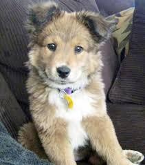australian shepherd husky mix for sale mixed dogs mixeddogs twitter