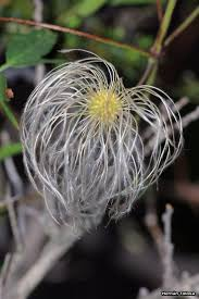 wheel shaped flower buds of stenocarpus sinuatus queensland 3188 best flores images on pinterest plants flowers and gardens