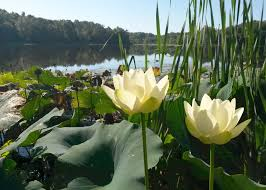 programs natural resources weeds and start early to get the upper hand on pondweeds mississippi state