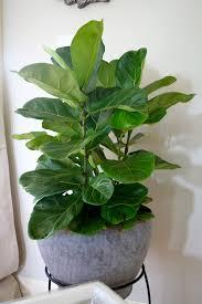 fiddle leaf fig refresh restyle