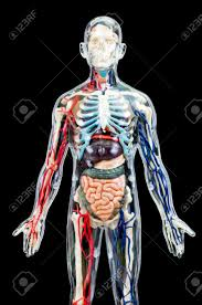 Male Internal Organs Anatomy A Male Human Skeleton With Internal Organs Isolated On Black