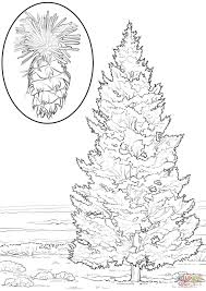 douglas fir coloring page free printable coloring pages
