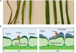 modification si e social sci frontiers of silicon on plant pathogen interactions plant