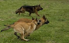 belgian sheepdog vs belgian shepherd compare the belgian malinois vs german shepherd which dog is