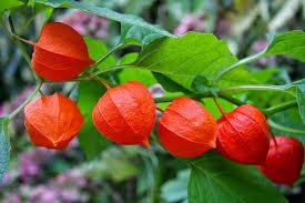 lantern flower lantern flower an invasive domineer simon duraid