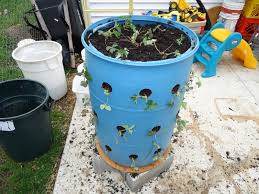 Diy Strawberry Planter by Strawberry Plants In Barrels Last For 3 5 Years Cover In Winter