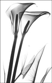 calla lily x ray google search lily tattoos pinterest