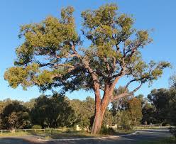 jarrah eucalyptus marginata robert powell tree pictures