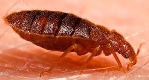 What Kills Bed Bugs And Their Eggs Bed Bugs Are Even Peskier Than We Thought Science Smithsonian