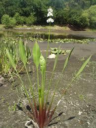 florida native aquatic plants lakefront designs u0026 services inc services