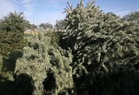 two locations set for christmas tree recycling in mcallen local