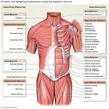 gross anatomy of the skeletal muscles human anatomy diagram