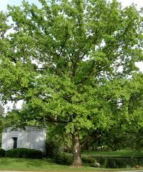 White Oak Swamp White Oak
