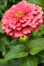 zinnia flower zinnias the hardest working flower in the summer garden chicago