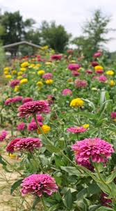 Cut Flower Garden by Our Flowers U2014 King U0027s Country Gardens