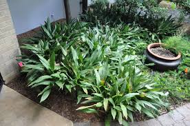 native florida plants for home landscapes creeping and clumping ground covers for south florida gardens and