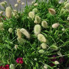 10seed lot bunny tails seed lagurus ovatus seed uraria crinita