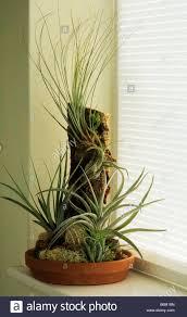 plants indoors air plants indoors on windowsill stock photo 21272517 alamy