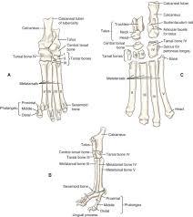 Anatomy Of Human Body Bones Canine Anatomy Veterian Key