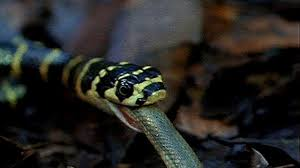 vidio film ular anaconda king cobra vs olive water snake