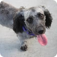 afghan hound poodle cross lita adopted dog 13 0406 naperville il poodle standard