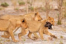 honey badger takes pride lions holds 30