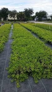 pioneer farms wholesale trees plants plantant