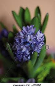 Blue And Purple Flowers Portrait Shot Of Blue And Purple Hyacinth Flowers In A White Pot