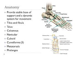 Calcaneus Anatomy Injuries To The Lower Leg Ankle And Foot Anatomy Provide