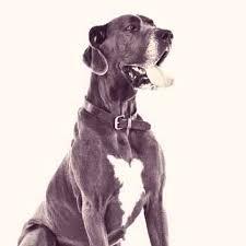 australian shepherd training tips large dog training tips petcarerx