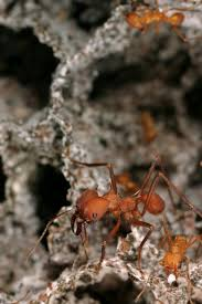 texas bound fungus keeps texas leaf cutter ants from spreading