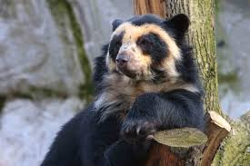 spectacled bear that u0027s just way too cute amazing animals