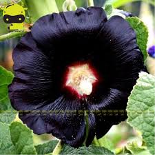 50seeds purple black ipomoea tricolor morning glory flower seeds