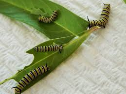 raising monarchs finding monarch butterfly eggs and caterpillars