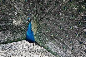 merak biru gambar alam burung sayap hewan margasatwa kebun binatang