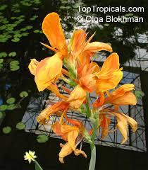 Canna Lily Canna Sp Canna Lily Canna Toptropicals Com