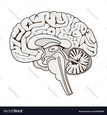 brain anatomy coloring book structure of human brain section schematic vector image