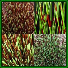 grasses cape thatching reed dakriet elegia tectorum 50 seed