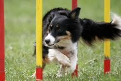 belgian sheepdog border collie mix what are the smartest dog breeds caninejournal com